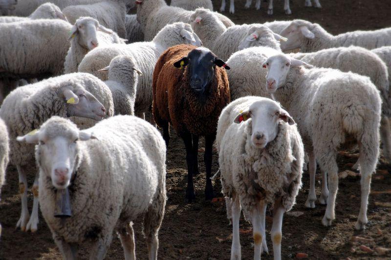 Black_sheep-1