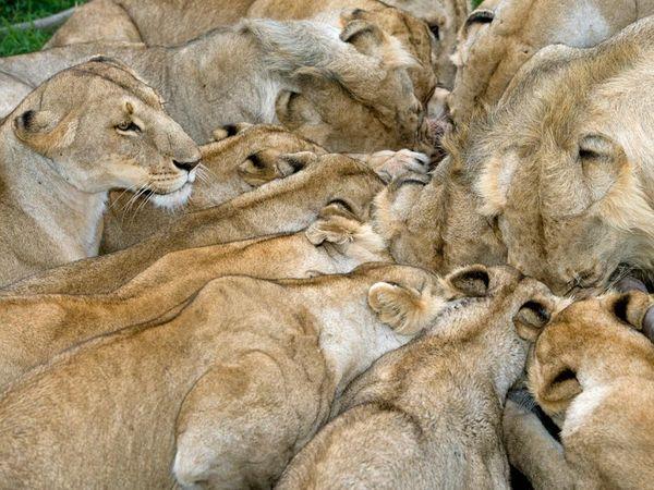 Masai-lions-feeding_13690_600x450